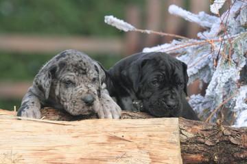 deux chiots dogue allemand en position très instable