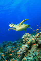Hawksbill Sea Turtle over a pristine Coral Reef