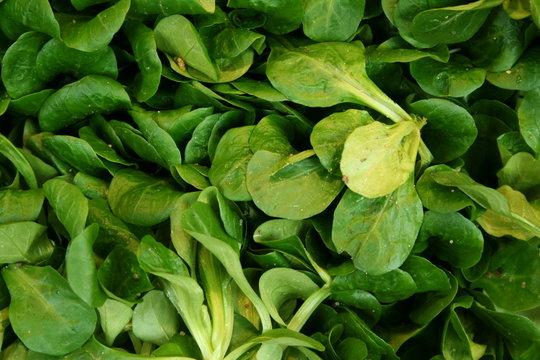 mâche mache salade bio