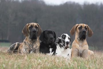 Quatre Dogues Allemands couchés à la campagne