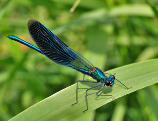 The blue dragonfly is on the blade of grass