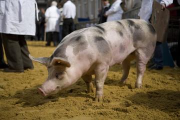 cochon de ferme