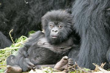 Staring Gorilla - Funny Baby