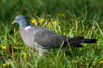 bird - woodpigeon