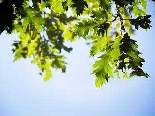 backlight of green oak leaves