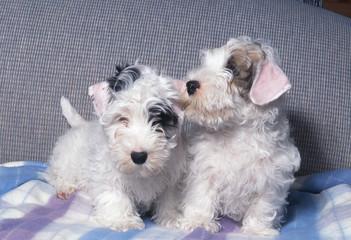 Deux petites Sealyham terrier adorables