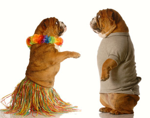 bulldog hula dancer while another one watches