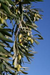 Rameaux d'olivier avec fruits