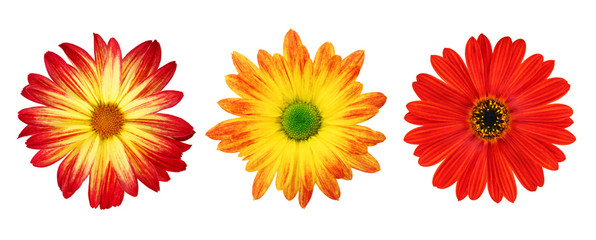 Three perfect daisies isolated on white with clipping path