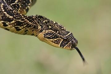 Puffadder Snake