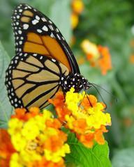 Schmetterling_mit_gelber_Bluete