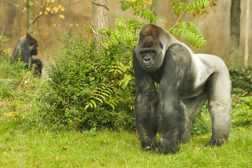 Silverback gorilla watching his territory