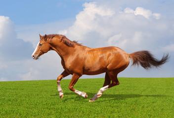 Fotoväggar - Sorrel trakehner stallion