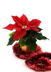 Festive Christmas Poinsettia