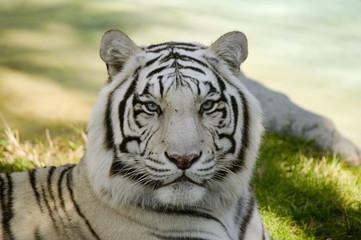 Foto op Canvas Tijger Amur Tiger
