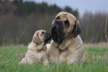 la maman et son chiot mastiff allongés dans l'herbe