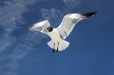sea gull in mid flight