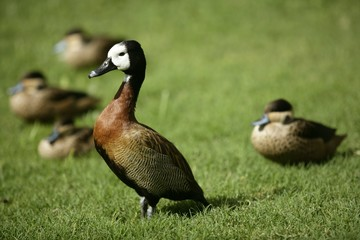 White faced Whistling duck from Madagascar