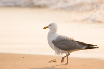Herring-gull walking along the beach