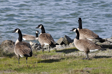 Wild geese by the bay