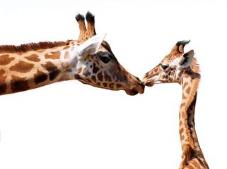 Détourage girafe et girafon