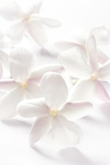 jasmine flowers over white background
