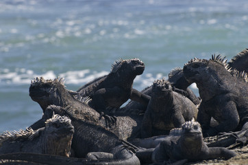 Marine iguanas against the sea