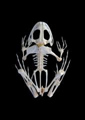 Isolated true rana frog skeleton on black background