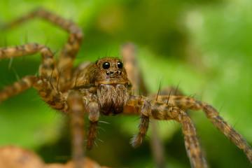 Pardosa sp