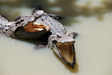Door stickers Crocodile Zwei Krokodile haben Hunger