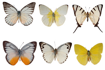 Six species of white butterflies