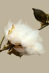Closeup of Cotton