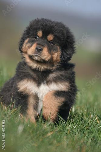 portrait d 39 un magnifique chiot dogue du tibet photo libre de droits sur la banque d 39 images. Black Bedroom Furniture Sets. Home Design Ideas