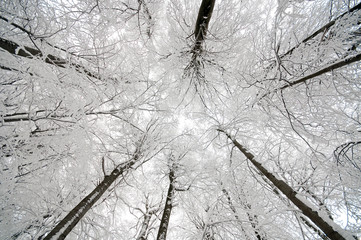 Looking to the sky - winter scene in forest