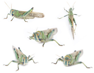 Five isolated grasshoppers