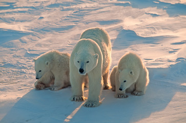Poster Ijsbeer Polar bears in Canadian Arctic