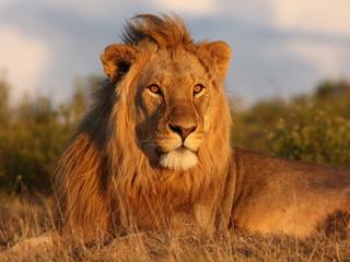 Foto op Plexiglas Afrika Young lion looking towars the setting sun.