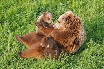 Braunbär Bärenfamilie