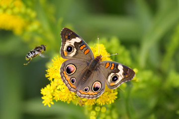 Fotoväggar - Common Buckeye Butterfly And Bee