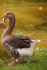 A goose at the waterfront