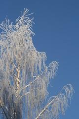 birch frozen in cold wintere