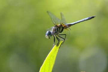 dragon-fly on a leaf