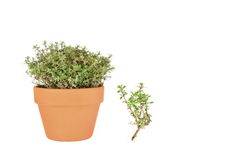 Silver Thyme Herb