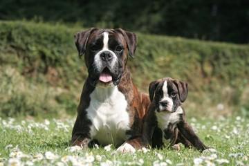 Sage petite famille de Boxer sur les paquerettes