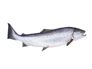 photo of salmon on white background