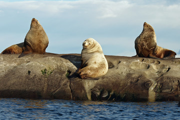Three Wild Male Steller Sea Lions
