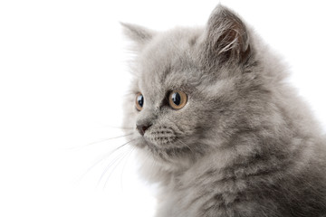 excited british kitten isolated
