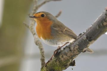 Pettirosso - Robin