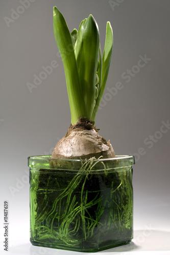 hyazinthe im glas stockfotos und lizenzfreie bilder auf bild 11487639. Black Bedroom Furniture Sets. Home Design Ideas