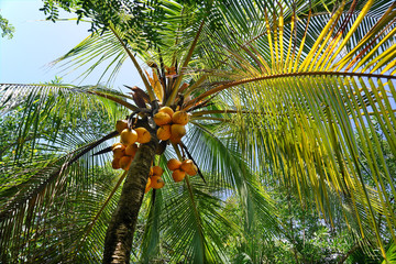Palmtree with yellow coconuts